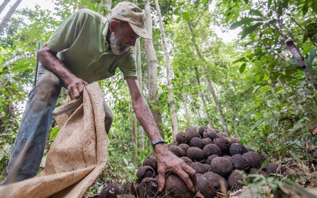 A importância de comunidades seringueiras e indígenas na proteção da Amazônia